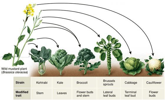 Image result for broccoli cabbage cauliflower family