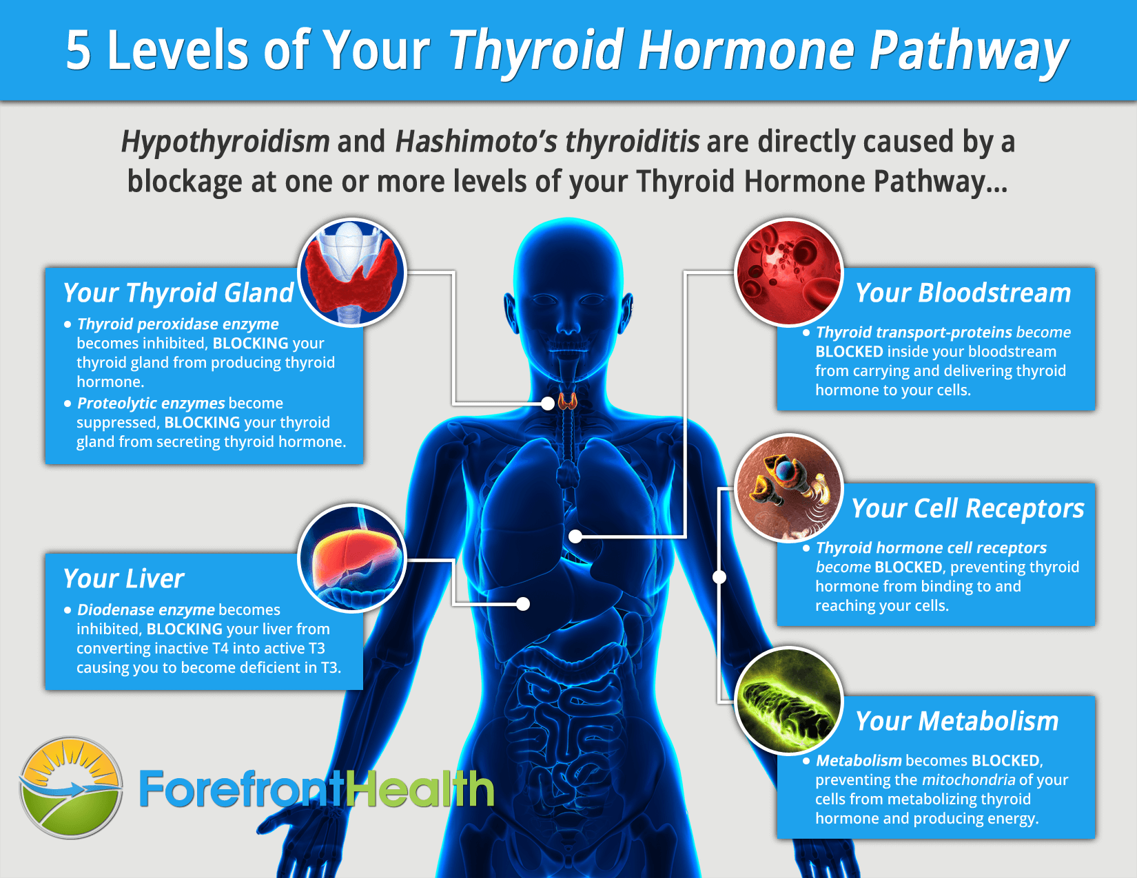 thyroid-hormone-pathway-infographic
