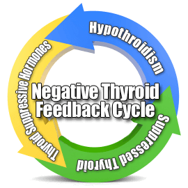 thyroid-feedback-cycle