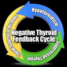 thyroid-feedback-cycle